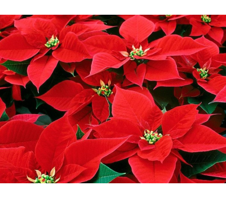 Red Poinsettias 8½ Pot in Hollidaysburg PA, Warner's Florist Gifts & Greenhouse