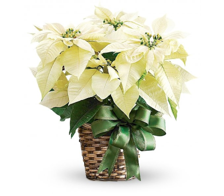 8 White Poinsettia in Winston Salem NC, Sherwood Flower Shop, Inc.