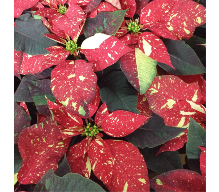 8 Red Glitter Poinsettia in Winston Salem NC, Sherwood Flower Shop, Inc.