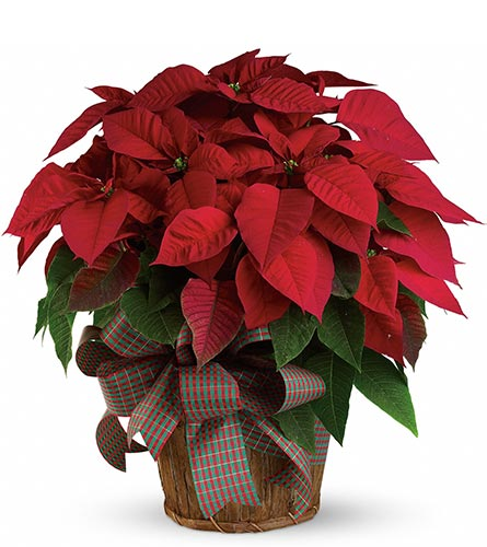 Large Red Poinsettia in Fort Worth TX, TCU Florist