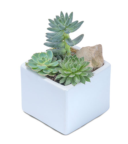 Mini Stunning Succulent in Stamford CT, NOBU Florist & Events