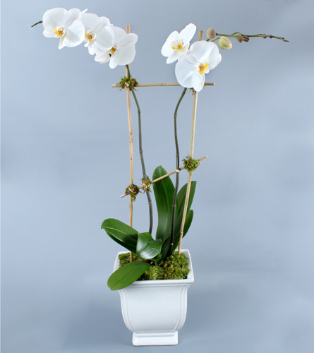 Double White Phalaenopsis in Bamboo in Darien CT, Nielsen's Florist And Garden Shop