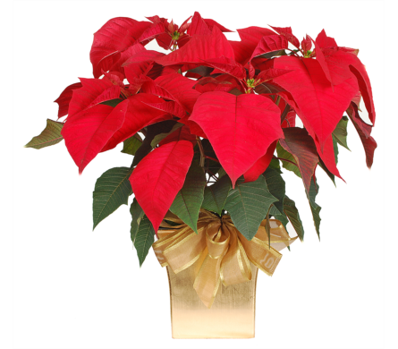 Red Poinsettia In a Gold Pot in Madison WI, Felly's Flowers