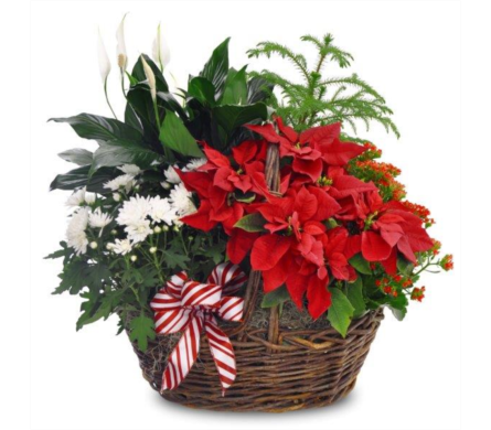 Blooming Poinsettia Basket in usa-send-flowers NJ, Stanley's America's Florist & Gifts