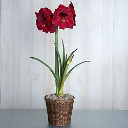 Amaryllis in Nashville TN, Emma's Flowers & Gifts, Inc.