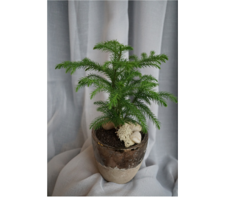 Norfolk Island Pine in North Vancouver BC, Special Moments Flowers And Gifts