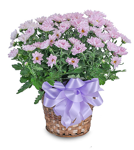 Lavender Chrysanthemum Basket in Augusta GA, Ladybug's Flowers & Gifts Inc
