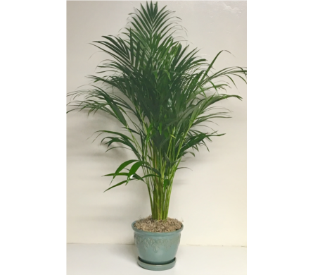 Palm Plant in Ceramic Planter in Wyoming MI, Wyoming Stuyvesant Floral