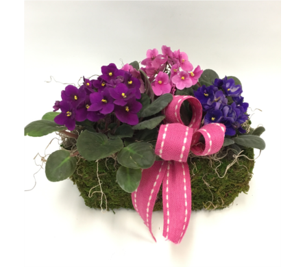 African Violet Trio in Belleville ON, Live, Love and Laugh Flowers, Antiques and Gifts