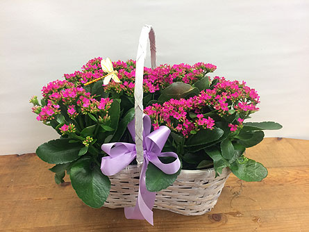 Double Kalanchoe Basket in Manhasset NY, Town & Country Flowers