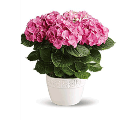 MOM LOVES HYDRANGEAS in Bellevue WA, CITY FLOWERS, INC.