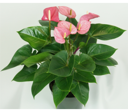 Pink Anthurium in Miramichi NB, Country Floral Flower Shop