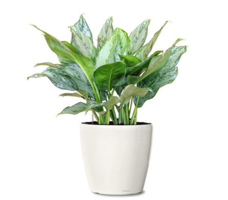 Aglaonema in Little Rock AR, Tipton & Hurst, Inc.