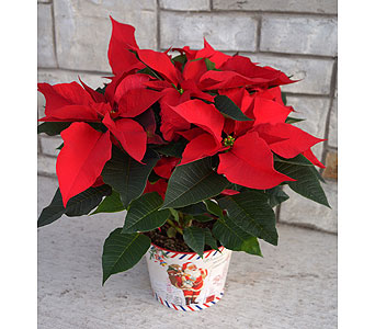 Santa Poinsettia in Muskegon MI, Wasserman's Flower Shop