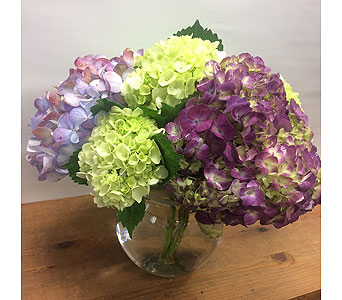 Colorful Hydrangeas in Manhasset NY, Town & Country Flowers