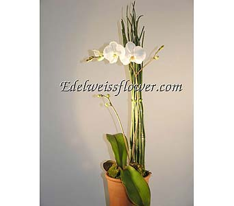 Contemporary Orchid Plant in Santa Monica CA, Edelweiss Flower Boutique