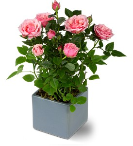 Miniature Rose Bush, flowershopping.com