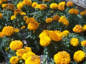 Marigolds in Oklahoma City OK, Morrison Floral & Greenhouses