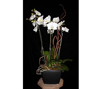 4 Spike Phalaenopsis Orchid in Concord CA, Jory's Flowers