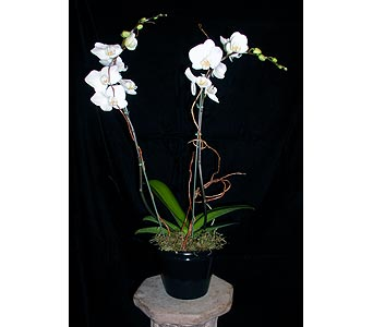 2 Spike Phalaenopsis Orchid in Concord CA, Vallejo City Floral Co