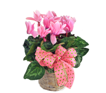 Cyclamen Basket in Indianapolis IN, McNamara Florist
