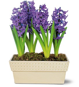 Hyacinth Planter, flowershopping.com