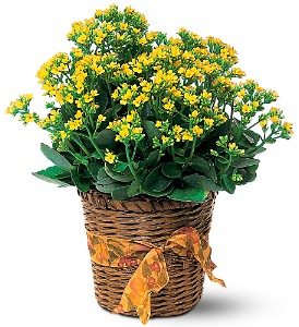 Vivid Yellow Kalanchoe Plant in Calgary AB, All Flowers and Gifts