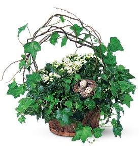 Kalanchoe and Ivy Basket in Santa Monica CA, Edelweiss Flower Boutique