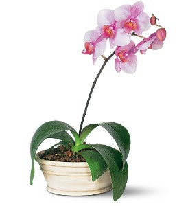 Lavender Phalaenopsis Orchid in Santa Monica CA, Edelweiss Flower Boutique