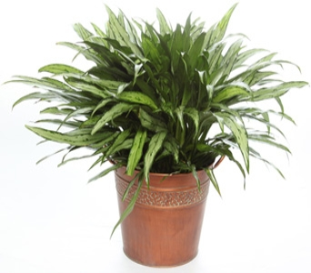 Medium Chinese Evergreen in McLean VA, MyFlorist