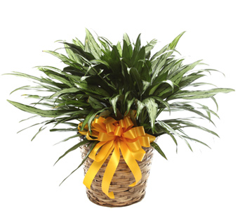 Mid-Size Chinese Evergreen in Basket in McLean VA, MyFlorist