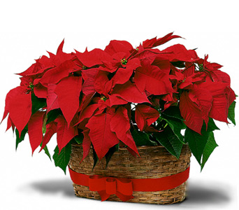 Double Poinsettia Basket  in McLean VA, MyFlorist