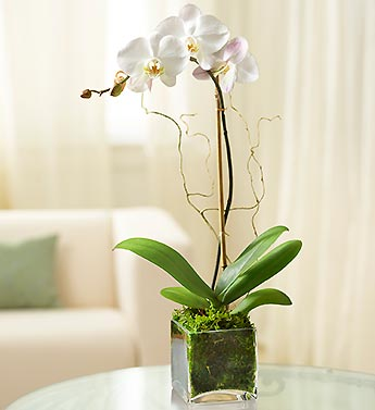 1 Stem White Phalaenopsis Orchid for Sympathy in El Cajon CA, Conroy's Flowers