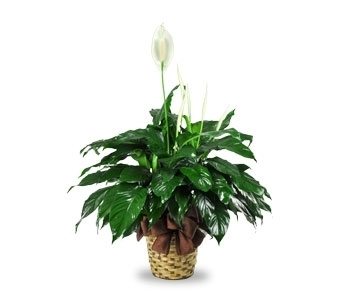 Spathiphyllum in Ogden UT, Jimmy's Flowers