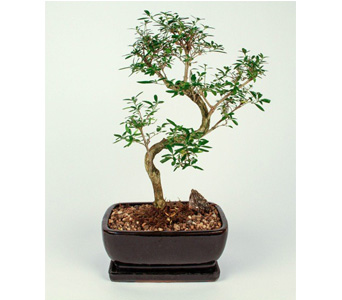 Chinese Sweet Plum Bonsai in Kingston ON, Pam's Flower Garden