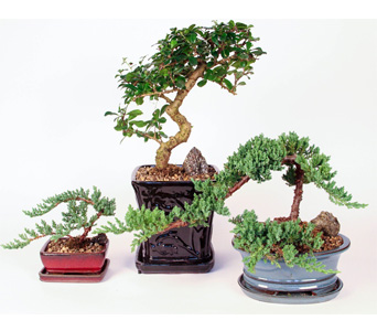 Assorted Bonsai Plants in Kingston ON, Pam's Flower Garden