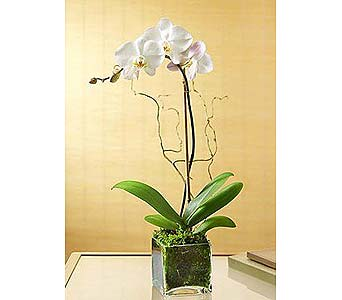 White Orchid Bliss in Waltham MA, Waltham's Florist