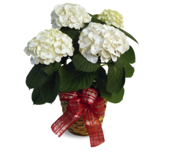 White Hydrangea in Indianapolis IN, McNamara Florist