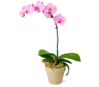 Phalaenopsis Orchid Plants in College Park MD, Wood's Flowers and Gifts
