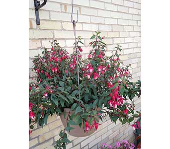 Fuchsia Hanging Plants in Wingham ON, Lewis Flowers