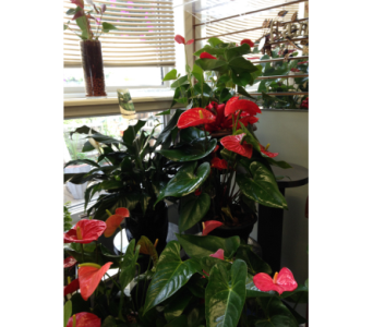 Anthuriums  in Wingham ON, Lewis Flowers