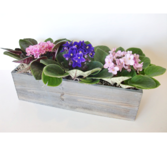 African Violet Trio in Nashville TN, Flowers By Louis Hody