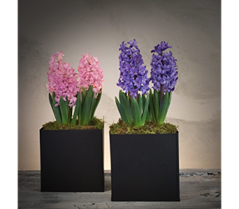 Blooming Hyacinth in Rogers AR, Shirley's Flower Studio