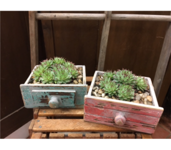 Drawer of Hens &Chicks in Ashburn VA, Lavender Fields