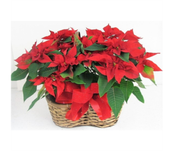 Twice as Nice Poinsettia Basket in Perrysburg & Toledo OH  OH, Ken's Flower Shops