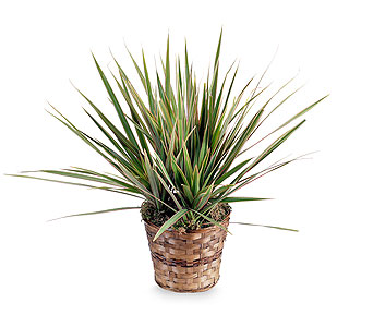 Dracaena Marginata Plant in Corpus Christi TX, Always In Bloom Florist Gifts