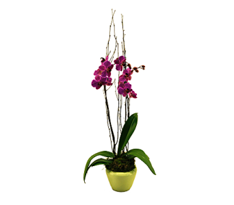 Orchid Plant in San Angelo TX, Shirley's Floral Company