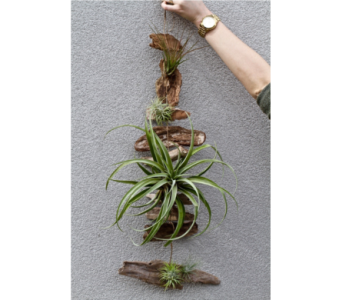 Tillandsia Air Ferns in Kingston ON, Pam's Flower Garden