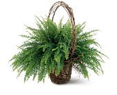 Faithful Fern in Aventura FL, Aventura Florist