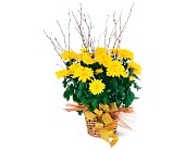 Yellow Hope Chrysanthemum in Dallas TX, Petals & Stems Florist